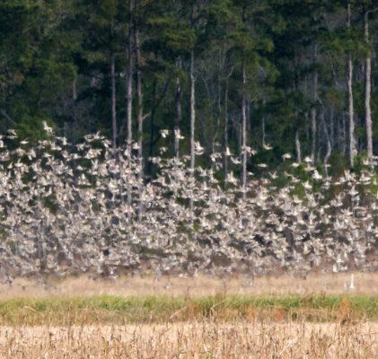 Bird Counts